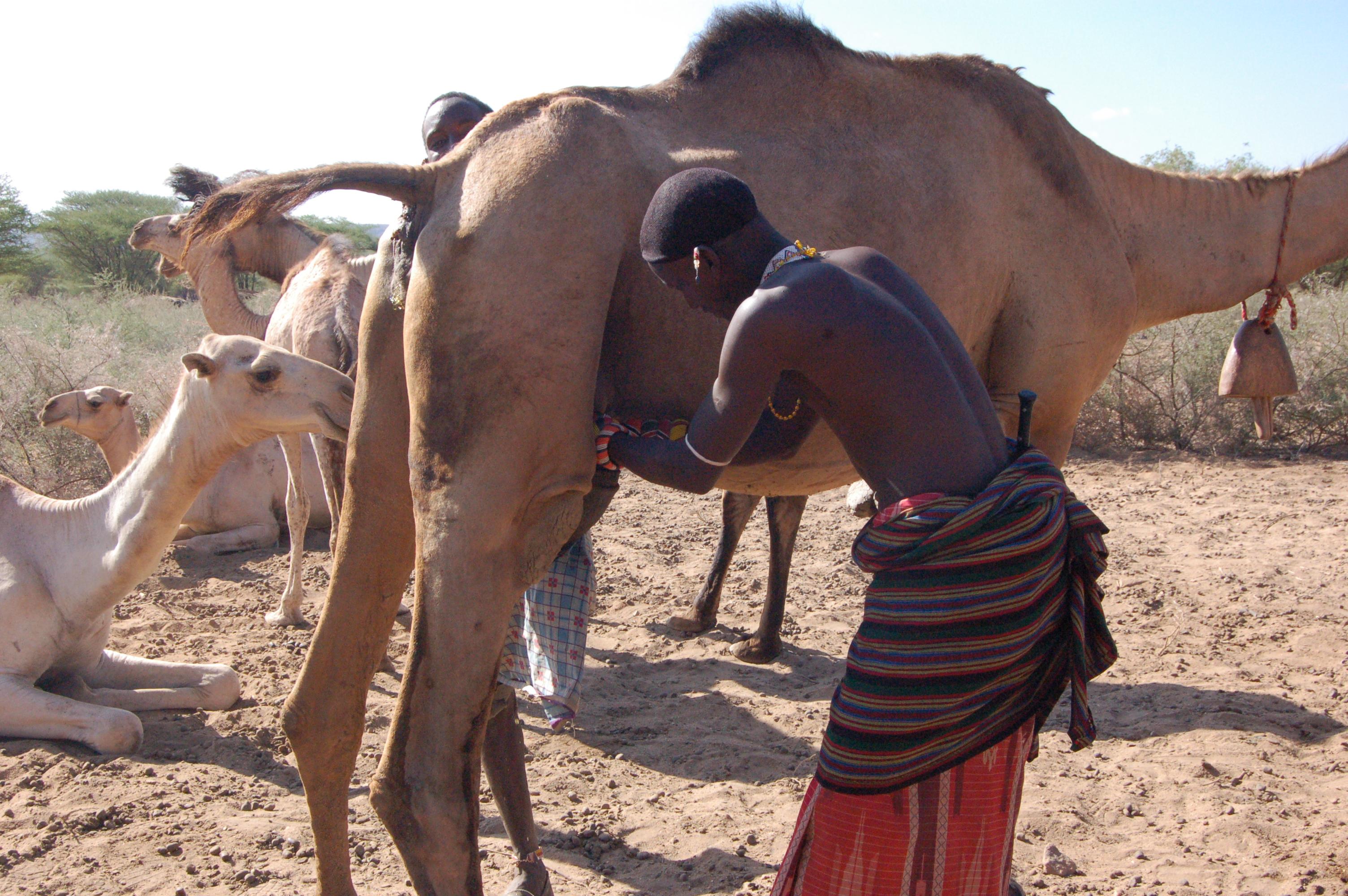 140929-4-lagarama-milking-camel